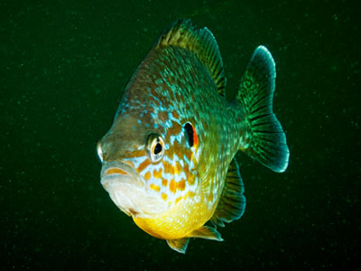Redear Fish / Pumpkinseed Fish