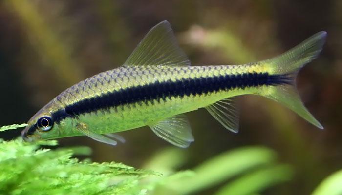 Siamese Algae Eater Males are Territorial
