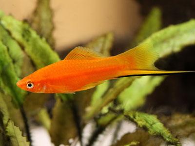 Swordtail Fish Aquarium Requirements