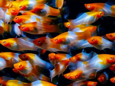 Swordtail Fish Breeding