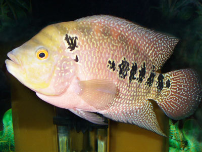 Three Spot Cichlid