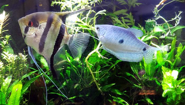 Dwarf Gourami Fish Tank Mates