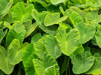 Taro Pond Plants